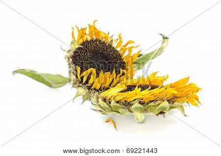 Withered sunflowers on White background isolated