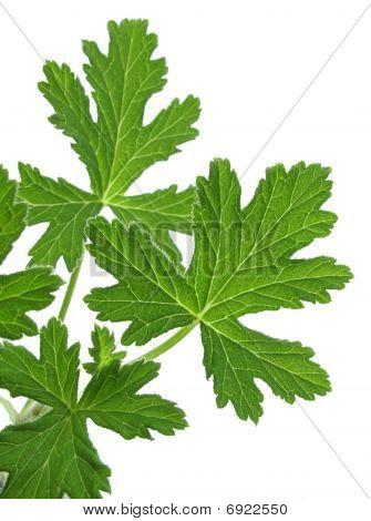 Pelargonium Graveolens (geranium)