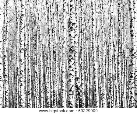 Trunks Of Birch Trees Black And White