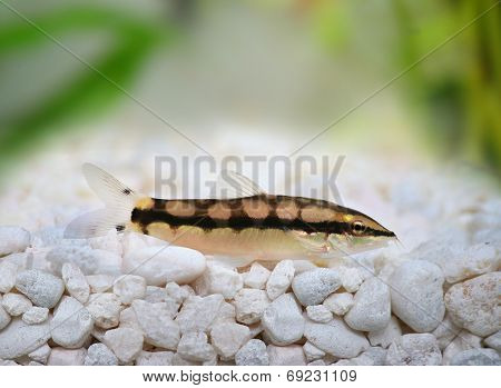 Dwarf Chain Loach Catfish Jaguar Loach Yasuhikotakia sidthimunki
