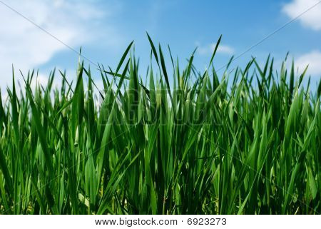 Lush Green Wheat Leaves