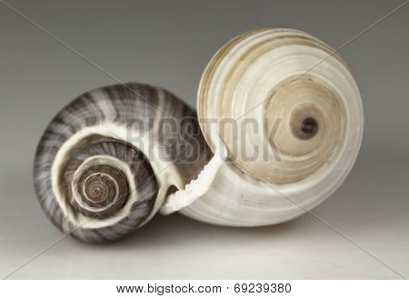 Two spiral sea shells joined together