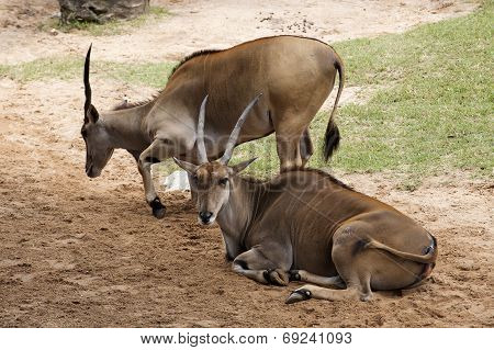Two Young Eland Bull