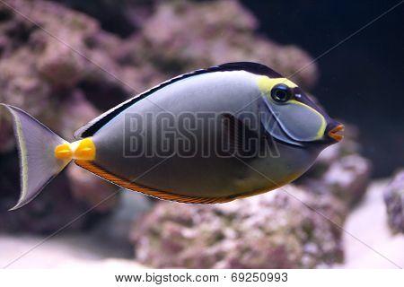 Elegant Unicornfish In Aquarium
