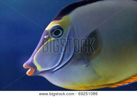 Face Of An Elegant Unicornfish
