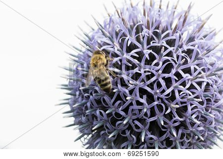 Honeybee On Thistle