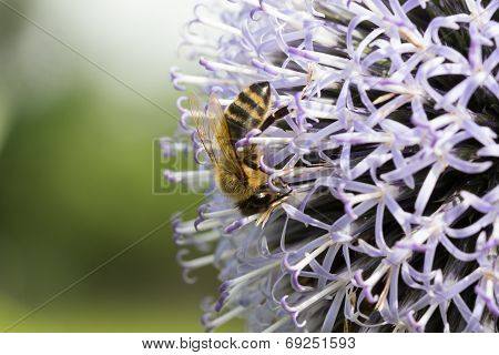 Honeybee Upside Down On Thistle