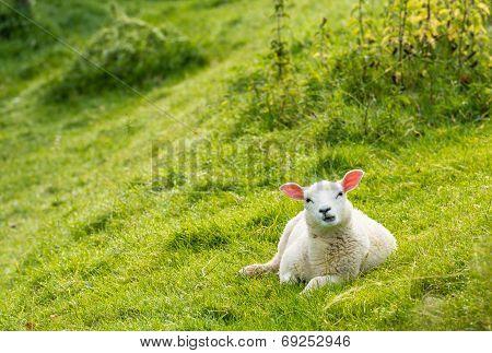 Curiously Looking Lamb