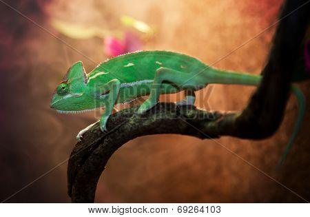 Yemen chameleon in terrarium