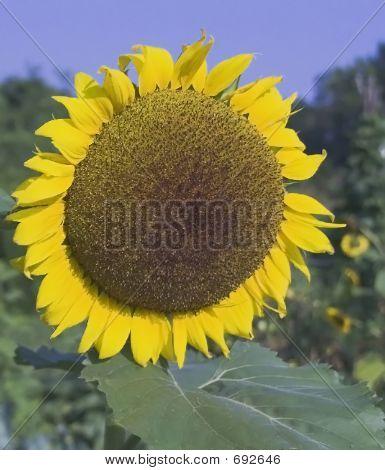 LargeSunflower