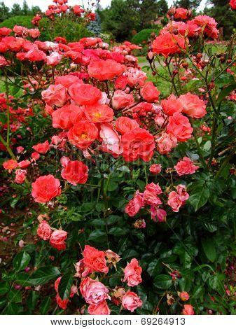 Coralin Rose