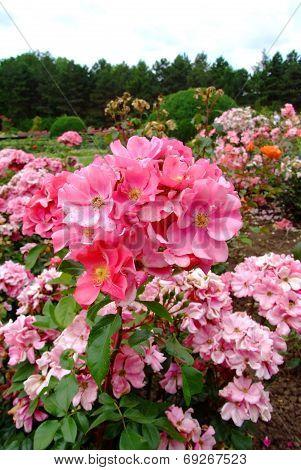 Ideal Rose