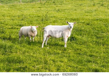 Two Recently Shorn Sheep Standing In The Grass
