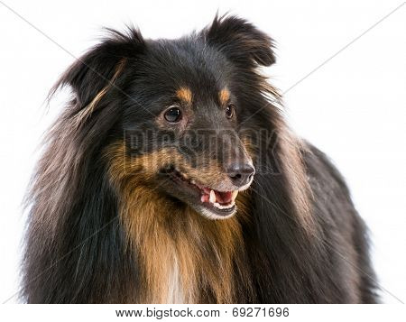 Beautiful Sheltie dog breed on a white background