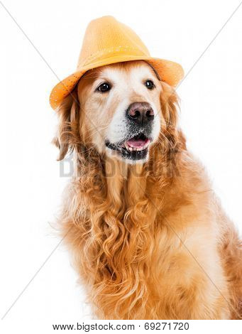 red retriever in a brown hat on white background