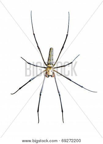 Golden Orb Spider (nephila Pilipes)