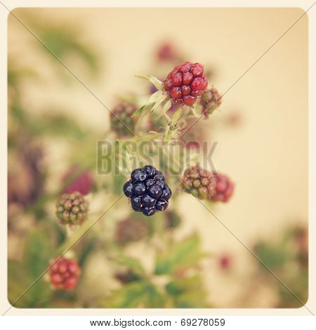 Blackberries ripening on a bush. Filtered to look like an aged instant photo.