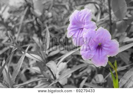 Purple Ruellia Squarrosa
