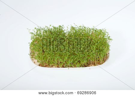 The Cress seedlings isolated on white background