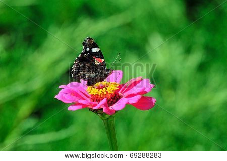 The Red Admiral butterfly sits on a flower zinnia.