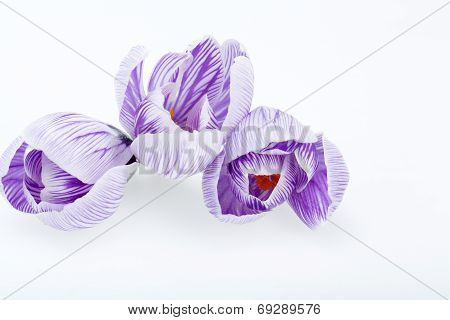 Close-up of purple and white crocus flowers isolated on white