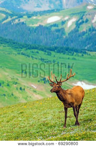 Elk On The Mountain Meadow