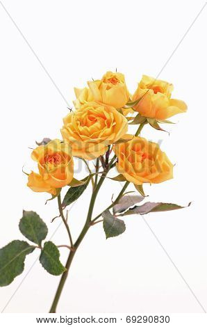 Yellow Roses On White Background (vertical)