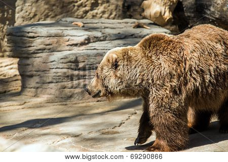 Old Grizzly Bear