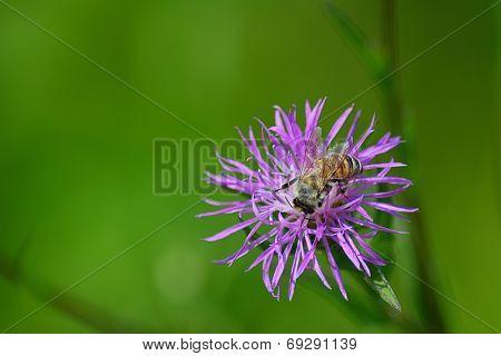 Honey Bee Feasts on Wildflower