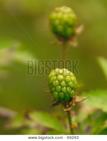 Green Blackberries