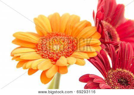 Gerberas, Flowers