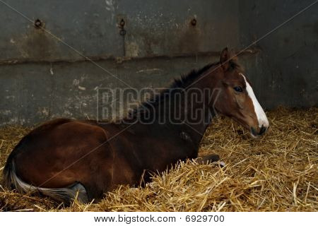 Brown Filly In Stable