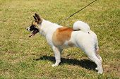 stock photo of akita-inu  - Beauty Akita Inu dog in the park - JPG