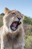 stock photo of veld  - Lioness yawning - JPG