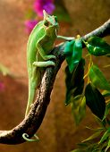 picture of terrarium  - Yemen chameleon in terrarium - JPG