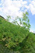 Marijuana And Blue Sky poster
