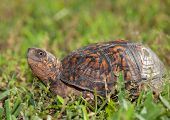 image of turtle shell  - Close look at a turtle with its head out of the shell  - JPG