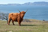foto of highland-cattle  - Highland cows are a Scottish breed of cattle with long horns and long wavy coats - JPG
