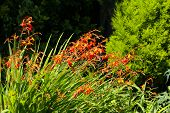 stock photo of crocosmia  - Orange red and yellow crocosmia (Orange devil) in an English garden