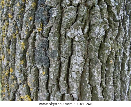 Cortex Of The Oak