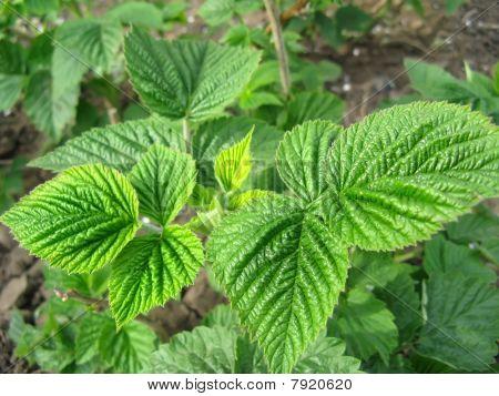 Growing raspberry plant