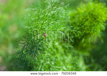 Branch Of Fresh Green Dill With Two Ladybugs