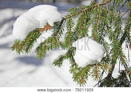 Frozen Pine Branches