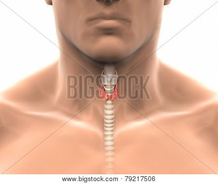 Human Thyroid Gland