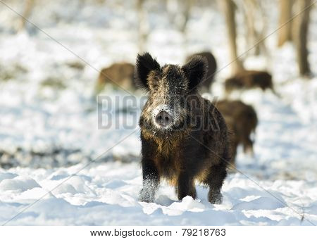 Wild Boar On Snow