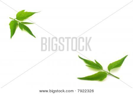 Two Twigs With Green Leaves