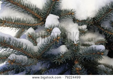Fir tree branches covered with fluffy snow