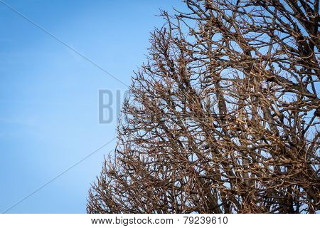 Tracery Of Leafless Branches Against A Blue Sky