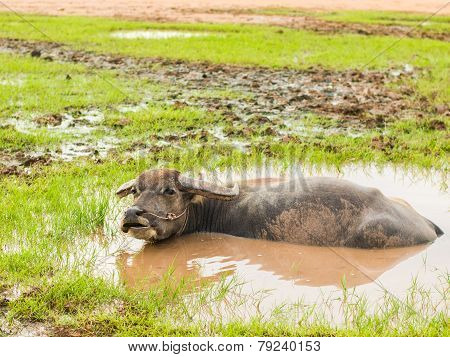 Buffalo in mud bath. Time of Happiness.