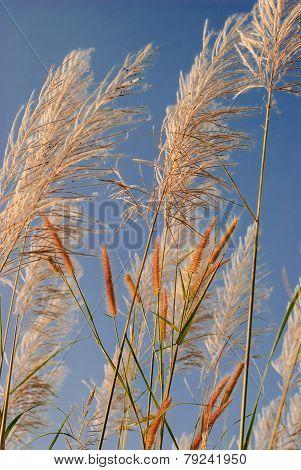 Pampas Grass Flowers Image